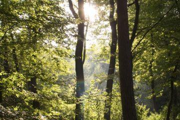 Sonne scheint durch Wipfel eines Buchenwaldes